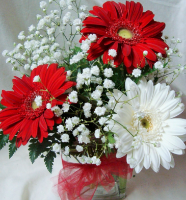Red and White Gerbera Daisies with baby's breath in Cube Vase.