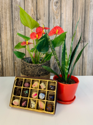 Red Anthurium, Plant and Chocolates  in Iowa City, IA | Every Bloomin' Thing