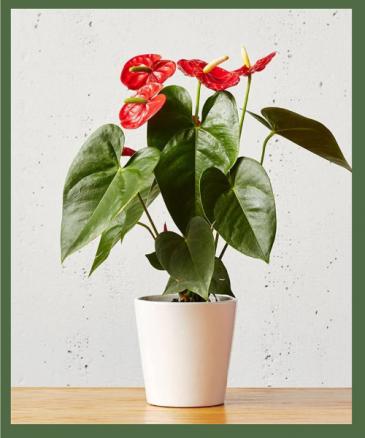 Red Anthurium Plant Medium to bright light will encourage max blooms