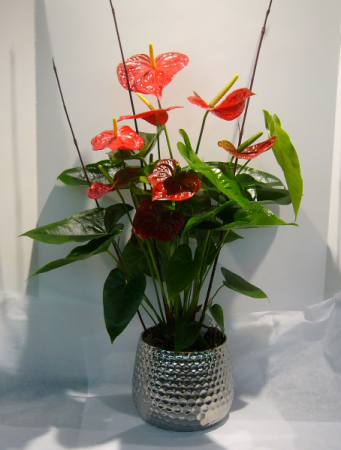 RED ANTHURIUM PLANTER Blooming Tropical Plant