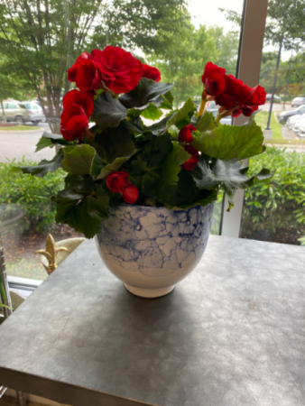 Red Begonia in Blue and White Container