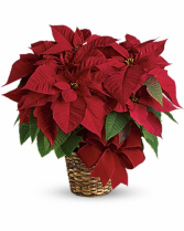 RED BLOOMING POINSETTIA BLOOMING PLANT