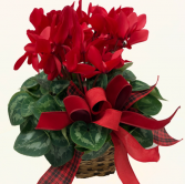 Red Cyclamen Plant Blooming Plant