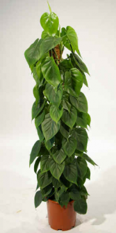Red Emerald Princess-giant leaf Plant- dressed up in a basket and bow