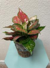 Red Hybrid Aglaonema (Chinese Evergreen) Plant