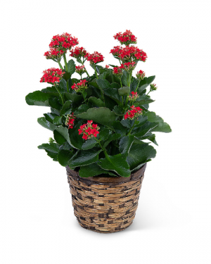 Red Kalanchoe Plant Plant in Nevada, IA | Flower Bed