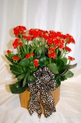 Red Kalanchoe Plants, Mother's Day