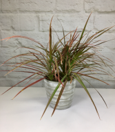 Red Margin Dracaena in Pottery  Dracarna Cincta