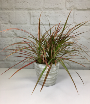 Red Margin Dracaena in Pottery  Dracarna Cincta in South Milwaukee, WI | PARKWAY FLORAL INC.