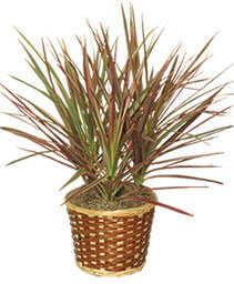 RED MARGINED DRACAENA   Dracaena marginata