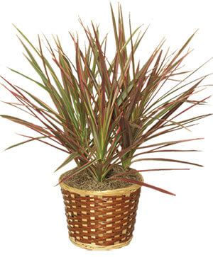 RED MARGINED DRACAENA Dracaena marginata in Mobile, AL | ZIMLICH THE FLORIST