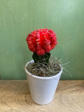 Red Moon Cactus Plant in Ceramic pot