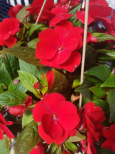 Red New Guinea Impatiens Hanging Basket