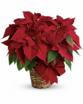 Red Poinsettia Med N Large Sizes