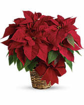 Red  Poinsetta Basket
