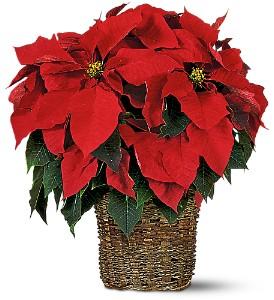 Red Poinsettia  in Clinton, AR | Main Street Florist & Gifts
