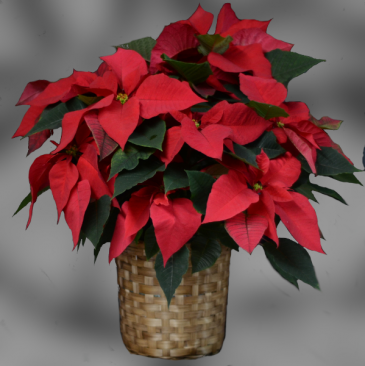 "Red Poinsettia - 8"""