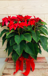 """Red Poinsettia  6"""" Plant with Bow"""