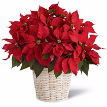 Red Poinsettia Blooming Plant EF34