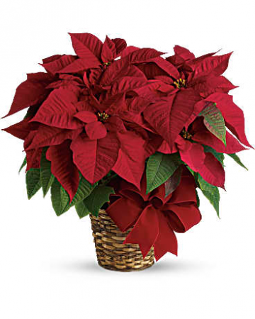 Red Poinsettia Blooming Plant