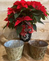 """Red Poinsettia C 8"""" potted plant"""