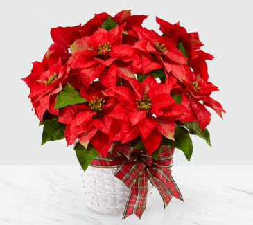 Red Poinsettia Christmas