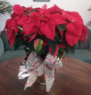 Red Poinsettia Christmas Plant in Bluffton, SC | BERKELEY FLOWERS & GIFTS