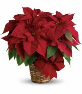 Red Poinsettia Christmas