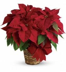 Red Poinsettia Flowering Plant