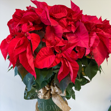 Red Poinsettia Holiday Plant
