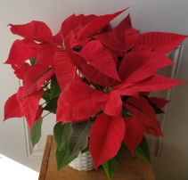 Red Poinsettia in Basket Plant