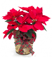 RED POINSETTIA MEDIUM