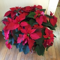 "14"" Red Poinsettia Plant"