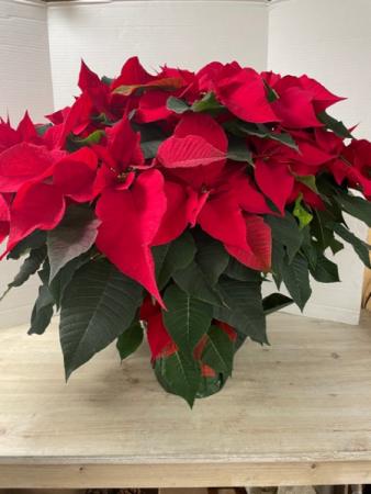 C100 - Red Poinsettia Plant
