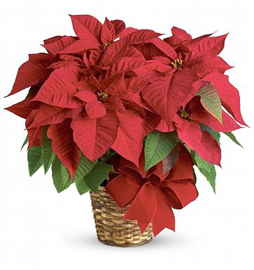 Red Poinsettia Holiday Indoor Plant
