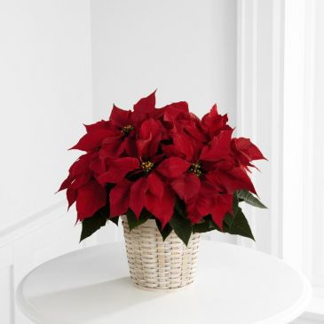 Red Poinsettia Potted
