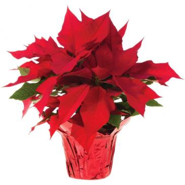 Red Poinsttia 1 plant
