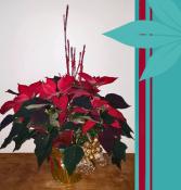 Red Pointsettia Christmas