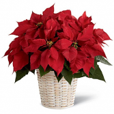 Red Pointsettia in Basket
