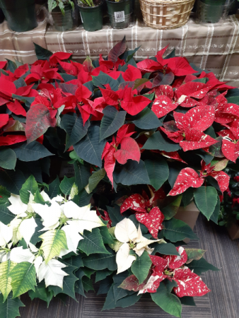 red/ white and jingle bell poinsettias