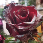 RED WITH RAINDROPS ROSE 1 DOZEN
