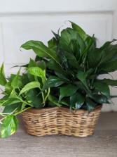 Refreshing  Live Plants