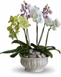 Regal Orchids Pot Arrangement