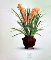 Regally Yours Orchid
