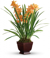Regally Yours Orchid HPL041A