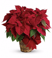 Regular Poinsettia