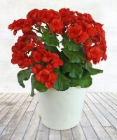 REIGER BEGONIA Plant