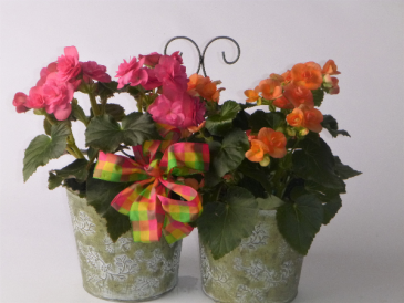 Reiger Begonias blooming plant