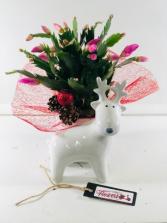 Reindeer - Christmas Cactus  Dish Garden of Plants