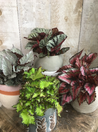 Rex Begonias Assortment 5
